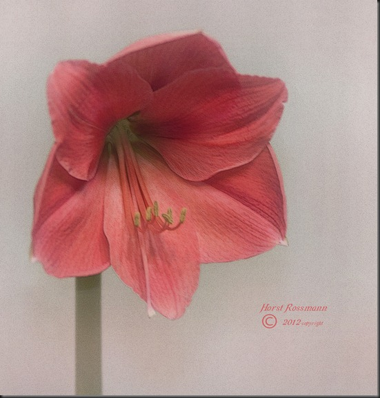 Love this Amaryllis 3