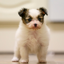 Little Hunter the Papillon Puppy by Kirk Evans - Animals - Dogs Puppies