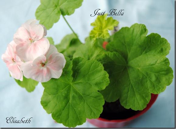Pelargonium juli -11 050