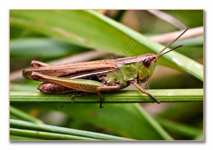 Grasshopper 4 lm