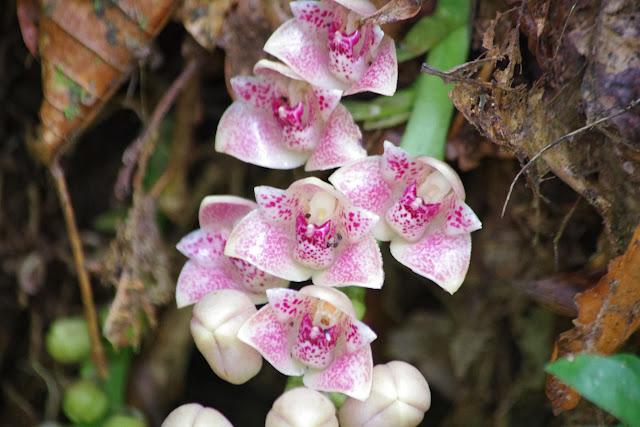 Orchidées. Rio Los Cedros, 1300 m. Montagnes de Toisan, Cordillère de La Plata (Imbabura, Équateur), 20 novembre 2013. Photo : J.-M. Gayman