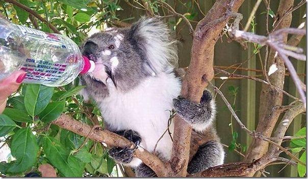 Adoraveis Koalas (12)