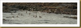 - Flock of Purple Sandpipers flying ROT_0141-Edit December 10, 2011 NIKON D3S
