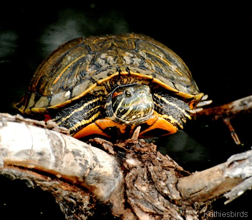 15. turtle-kab