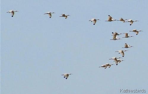 13. White ibis-kab