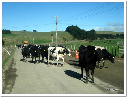 A herd of heifers being moved on the road near Ballance.