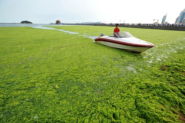 chinese-algae5