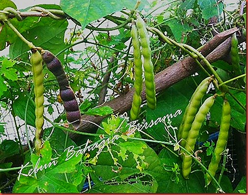 Kacang sengkuang