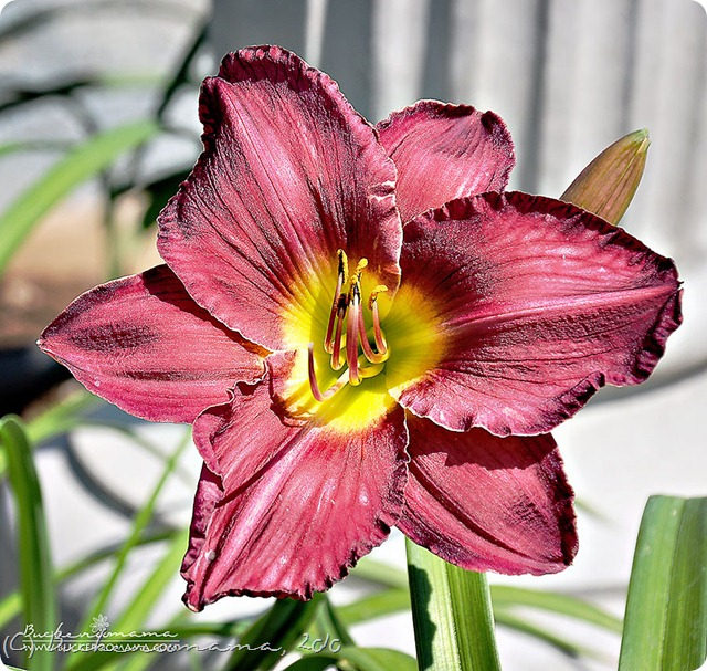 Lily-(1)