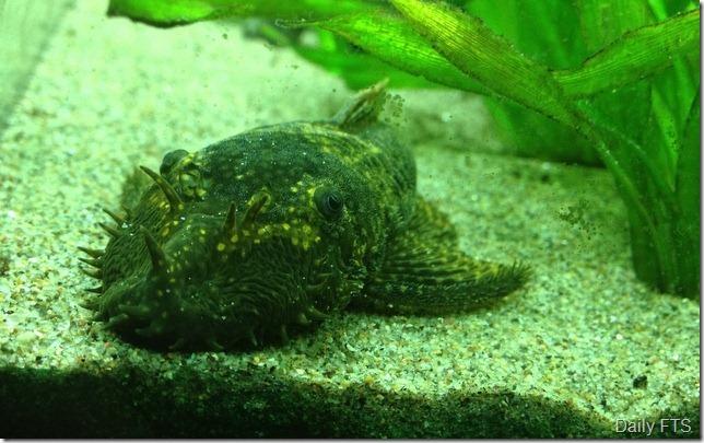 8-Bristlenose Catfish Ancistrus.36-001
