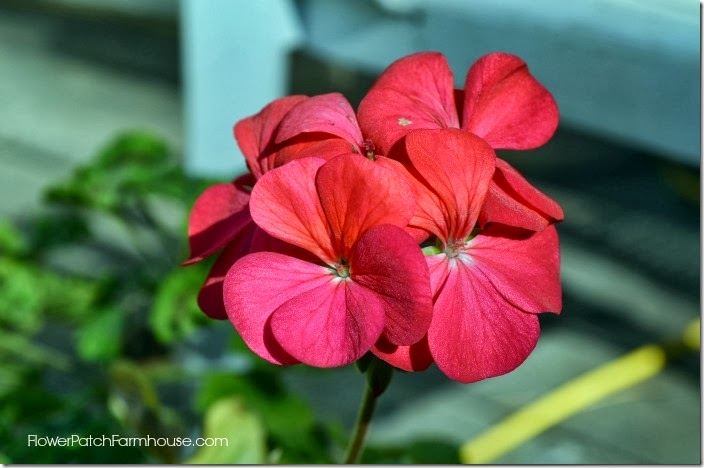 rosy glow geranium