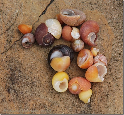 28-winkle-shells