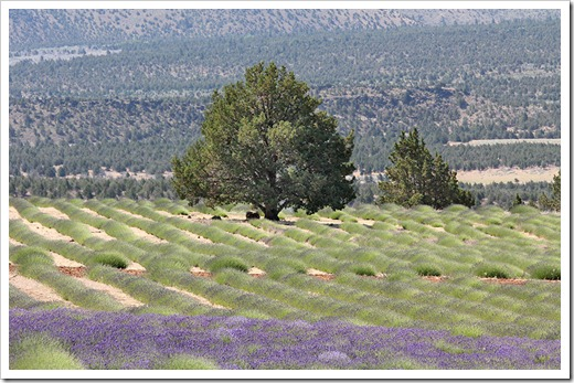 110710_Mt_Shasta_Lavender_Farm_89