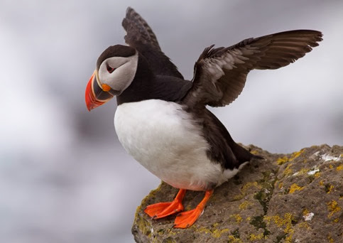 Amazing Pictures of Animals, Photo, Nature, Incredibel, Funny, Zoo, Puffins, Bird, Aves, Alex (3)