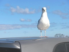 11.2011 fox hill seagull on my car 1