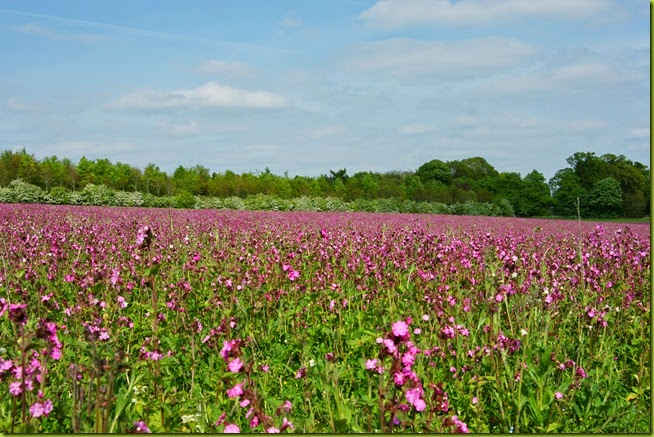 pink meadow in spring