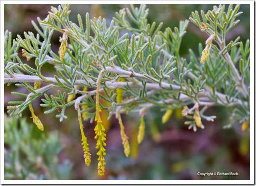 131124_UCD_Arboretum_AustralianCollection_Hakea-leucoptera_01