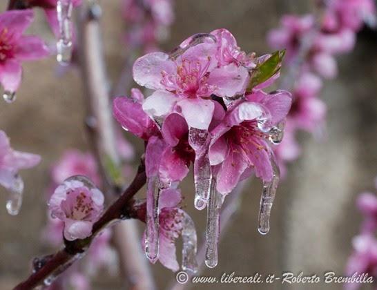 2014-03-3-25_Pesco ghiacciato_Villa di Tirano (14)