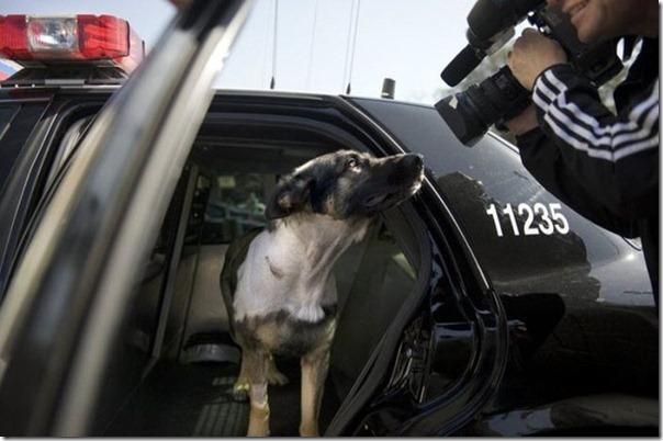 K-9 Policial bom pra cachorro (20)