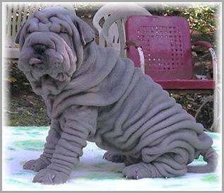 Funny Shar Pei Dog_8