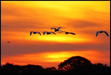 Cattle Egrets Flying Home to Roost