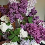Syringa vulgaris - Lilas commun