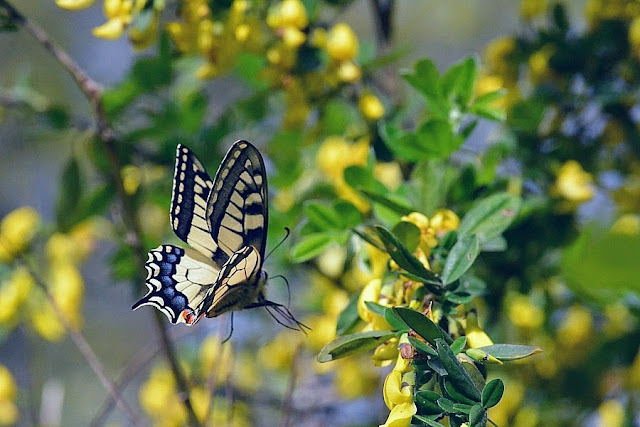 Papilio machaon L., 1758. Parco Naturale Monti Livornesi, 11 avril 2014. Photo : L. Voisin