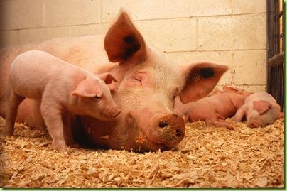 pigs-copy
