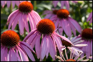 purple-coneflower5