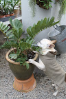 Zamia is a genus of cycad and if it grows anything like a cycad, it should do very well here, especially after all this compost tea.