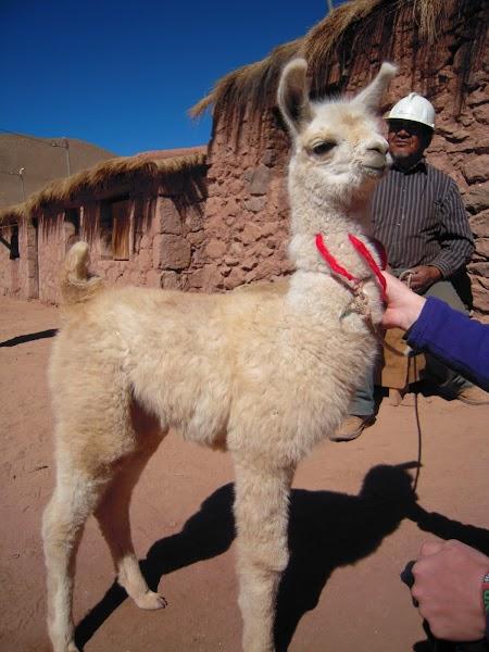 Excursie Atacama, Chile:  Pui de lama