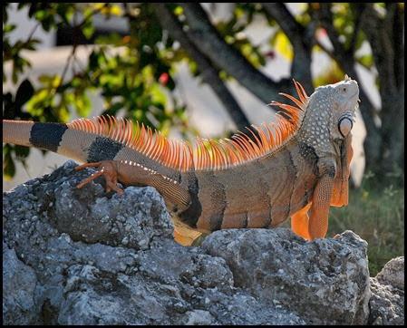 17b - Iguana