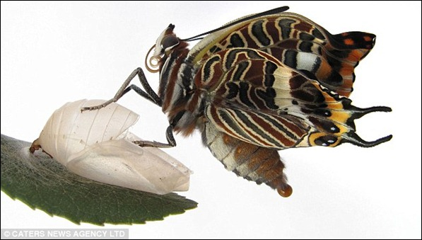 The fourth stage The beautiful butterfly is almost free and is all but out of its shell. It has a wing span of two inches