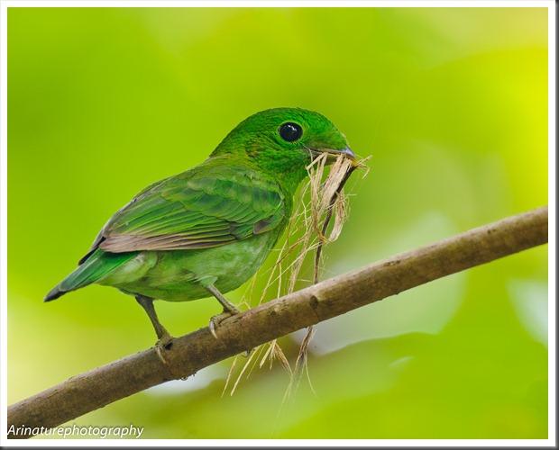 Green BB(f)1