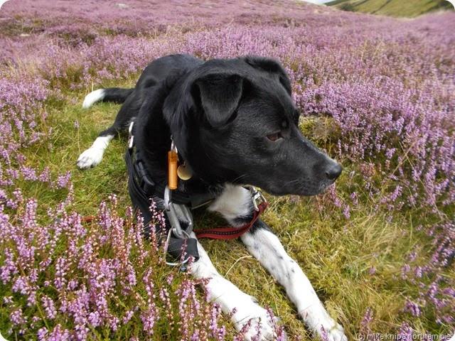 heathery dog