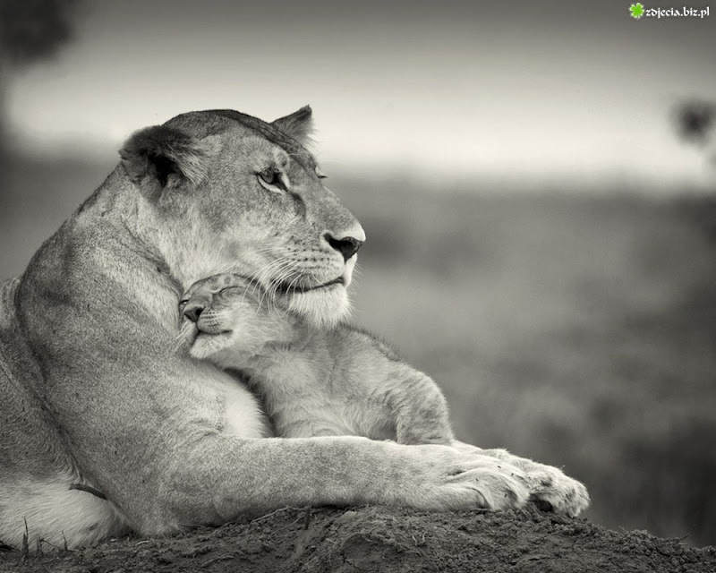 Lion-Mother-Love-Protection