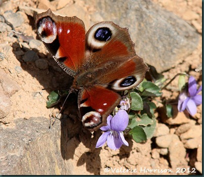 4-peacock-butterfly