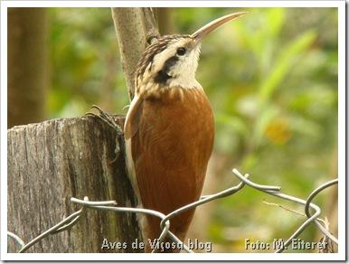arapaçu-de-cerrado (Lepidocolaptes angustirostris). Foto: M. Eiterer