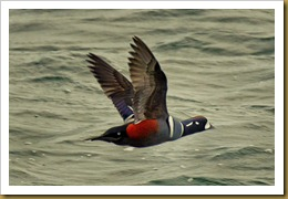 Harlequin Duck Flying