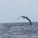 Albatross