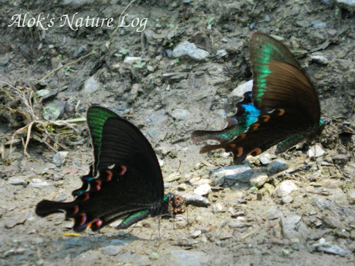 Papilionidae%25252c%252520papilio%252520bianor%252520polyctor%25252c%252520common%252520peacock