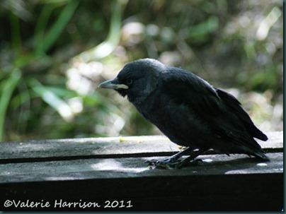 26 fledged-jackdaw