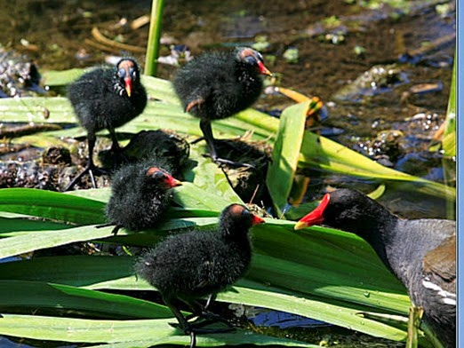 Amazing Pictures of Animals, Photo, Nature, Incredibel, Funny, Zoo, Common Moorhen, Gallinula chloropus, Aves, Alex (8)
