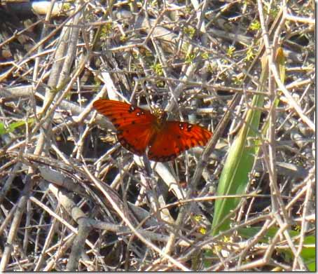 35-butterfly
