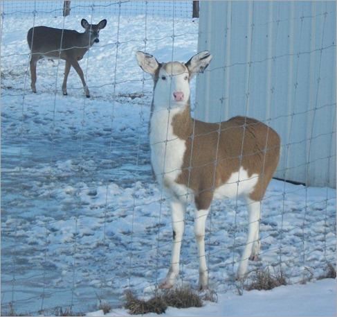 Half albino deer