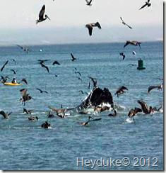 Grey Whale Breaching (3)