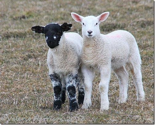76-lambs