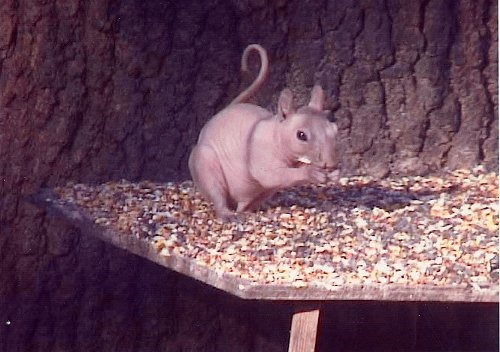 [hairless%2520squirrel%255B4%255D.jpg]