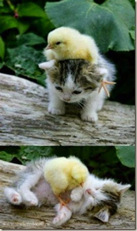 z kitten and duck