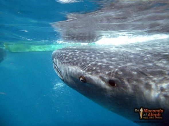 Viajar a Isla Holbox Nadar con el Tiburon Ballena 10
